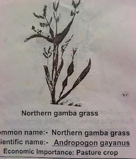 northern gamba grass