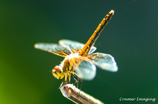 Cramer Imaging's professional quality nature insect photograph of a resting yellow dragonfly with green background in Pocatello, Bannock, Idaho