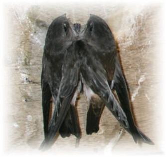 Buka Rahasia Agar Burung Walet Betah Bersarang