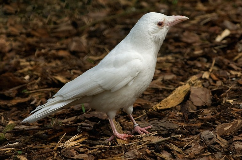 Albino crow - photo#34