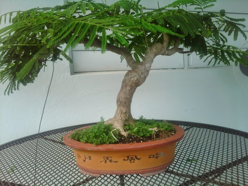 Bonsai barbero gu a de cultivo de flamboyan - Caesalpinia gilliesii cultivo ...