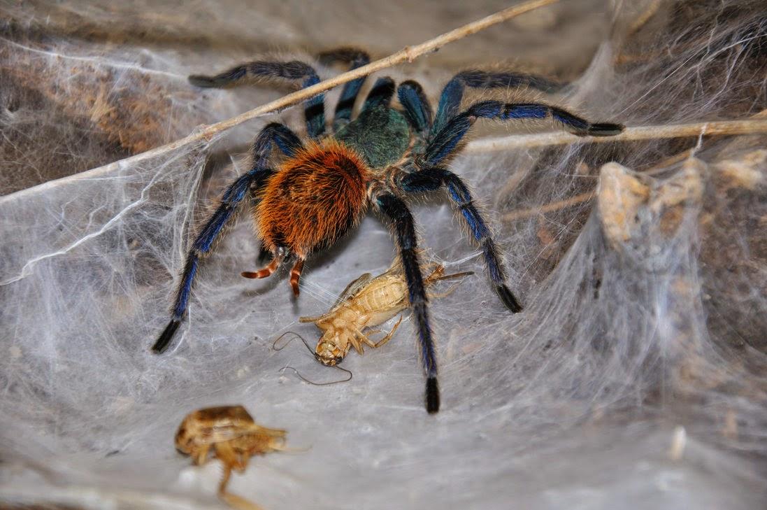 vogelspinnen reptilien und wirbellose tiere chromatopelma cyaneopubescens. Black Bedroom Furniture Sets. Home Design Ideas