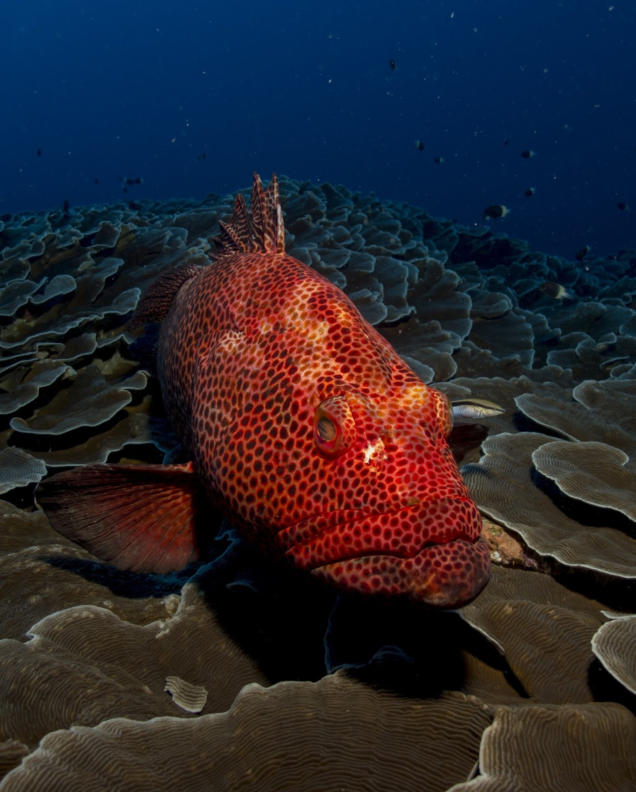 Red grouper-A fish that uses red color to send signals like traffic ...