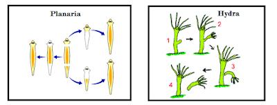 planaria - hydra - amoeba