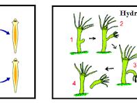 Hewan Yang Berkembang Biak Dengan Cara Vegetatif