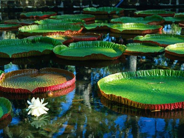 http://4.bp.blogspot.com/-VxRIUmbKcmg/TgnABixa7nI/AAAAAAAAEO8/ju2aGm7Prmo/s1600/Waterlily%2B1.jpg Giant Amazon Water Lily
