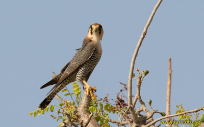 Red necked Falcon