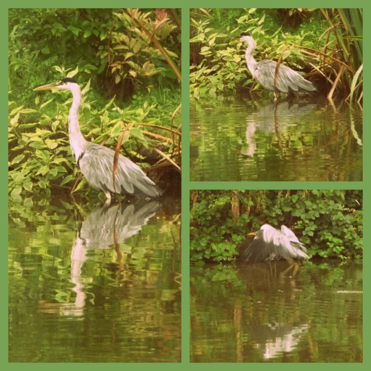 Heron At Chester Zoo: Wordless Wednesday Photo