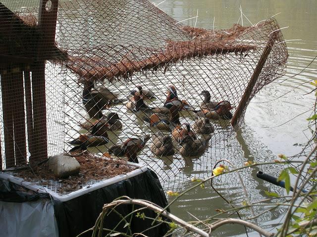 公園の池のオシドリ(3倍ズーム)