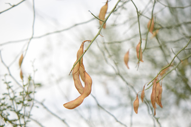 seedpods, parkinsonia florida, blue palo verde