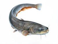 Impotensi... atasi dengan ikan lele