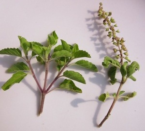 leaves of Holy Basil or Tulsi