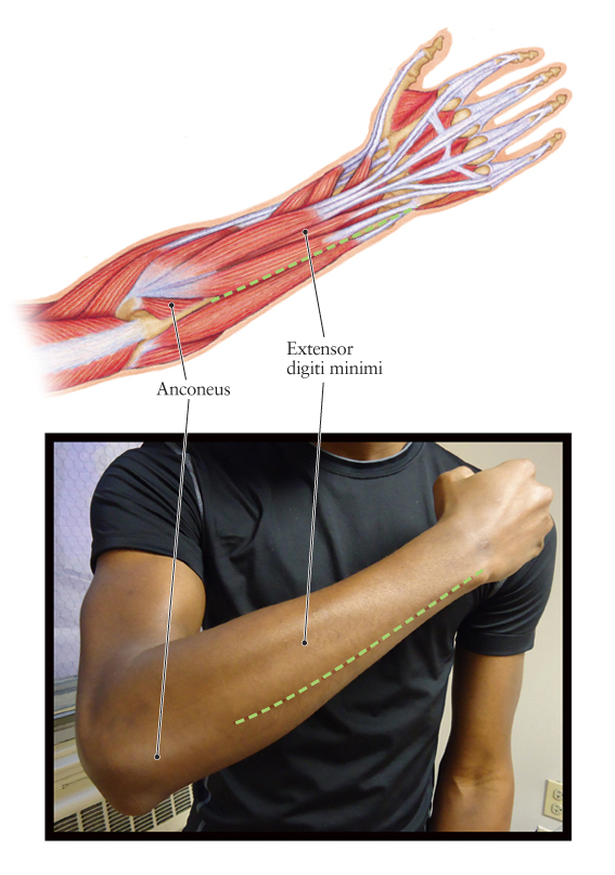 Human Anatomy for the Artist: The Dorsal Forearm, Part 2: Which Side Are You On, Anyway?