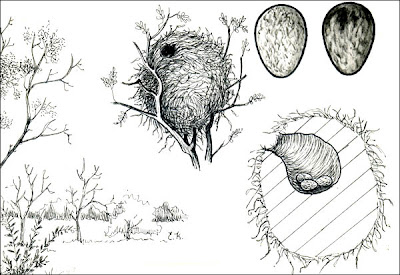 nido de Anambé común Pachyramphus polychopterus