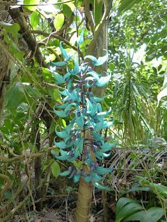 Liane de jade - Strongylodon macrobotrys
