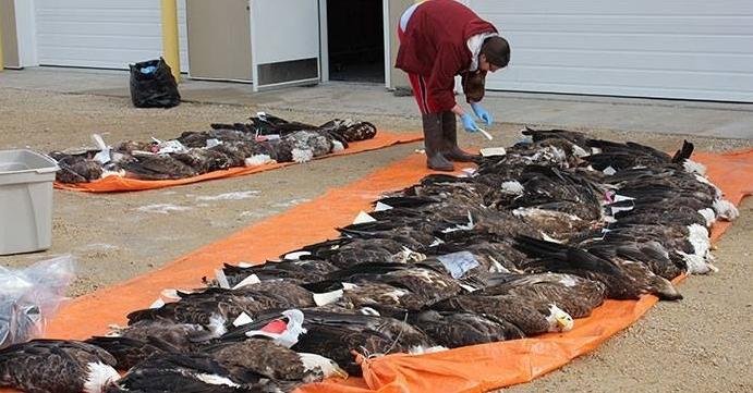 Bald eagles soaring back from the brink of extinction