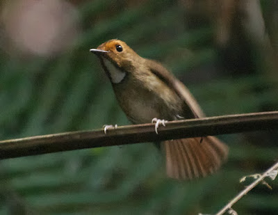 Rufous-browed Flycatcher (Anthipes solitaris)