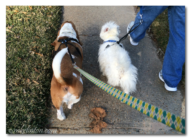 Bentley Basset and Pierre Westie walking on matching leashes