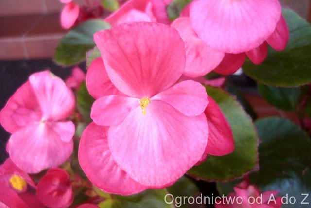 Begonia x semperflorens cultorum