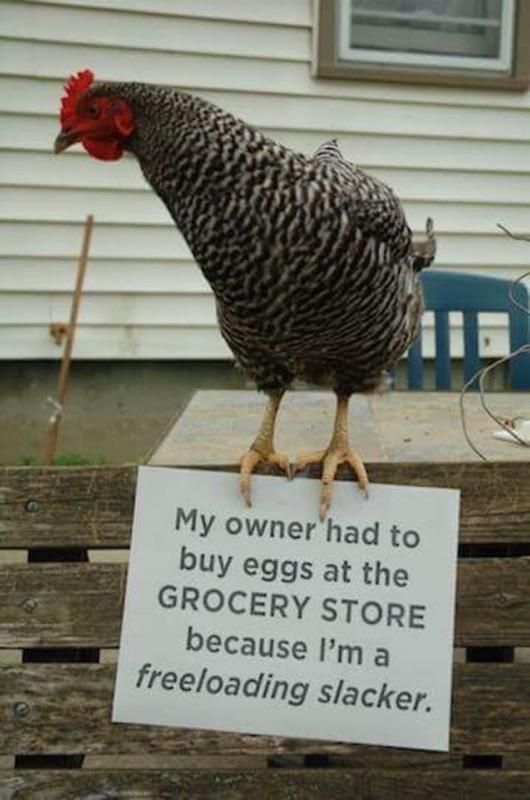 Funny Chicken Shaming Picture