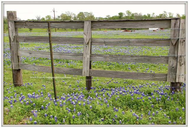 Texas Bluebonnets-Fence-Field-Wildflowers-From My Front Porch To Yours