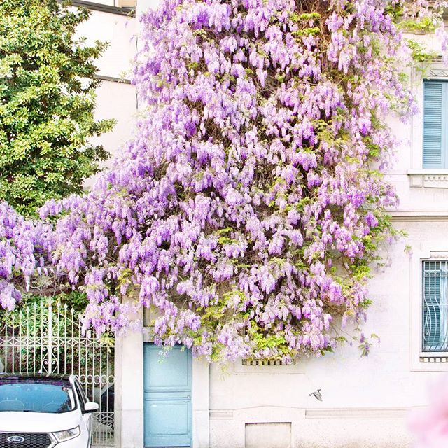 Wisteria in Bloom, Italy | with @gabdetails Instagram