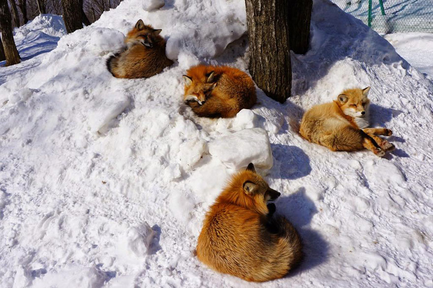 zao-fox-village-japan-8
