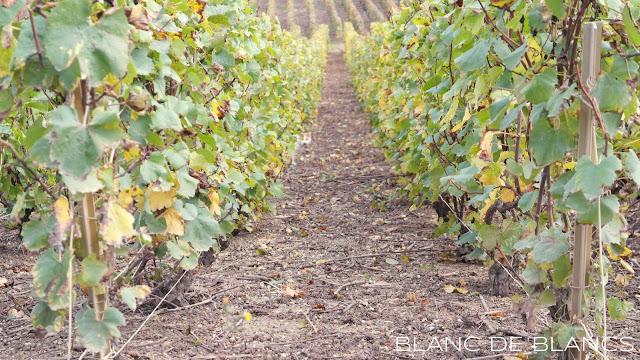 Viljelmiä Champagnessa - www.blancdeblancs.fi