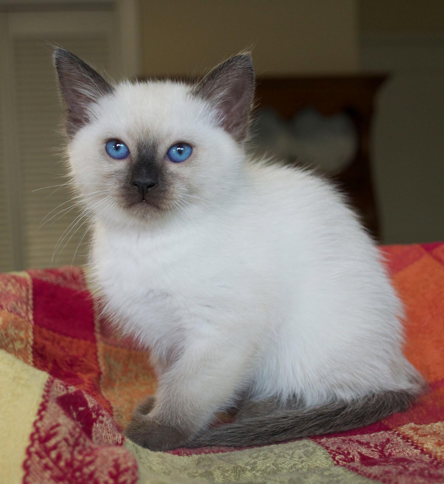 Sorry sold) Siamese/Balinese kittens | Baliwest