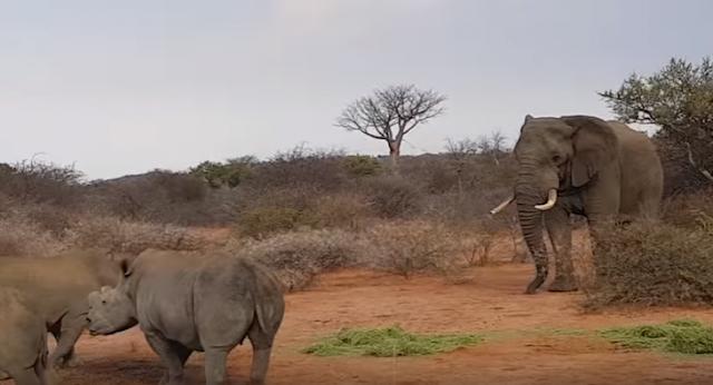 Un elefante enfrenta a tres rinocerontes y los hace correr