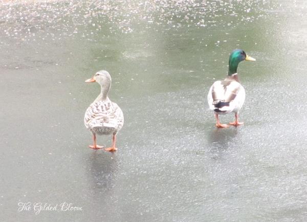 Darling Ducks- www.gildedbloom.com