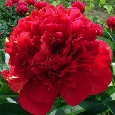 Пион - цветок имени Яна