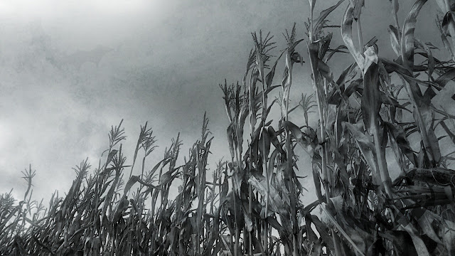 The stalks grow tall at Gayley's Farm.