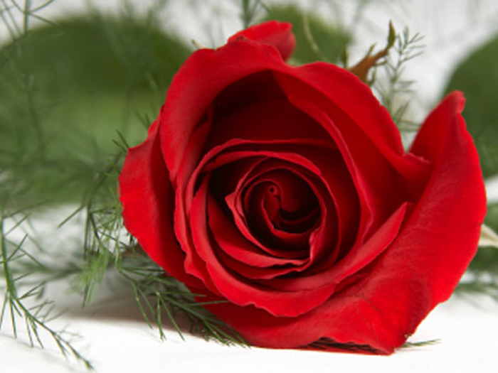 Red flower, flower, flower wallpapers, ورد احمر, زهور,Red flower ورد احمر,صور,صور ورد , Photos flower, Photos
