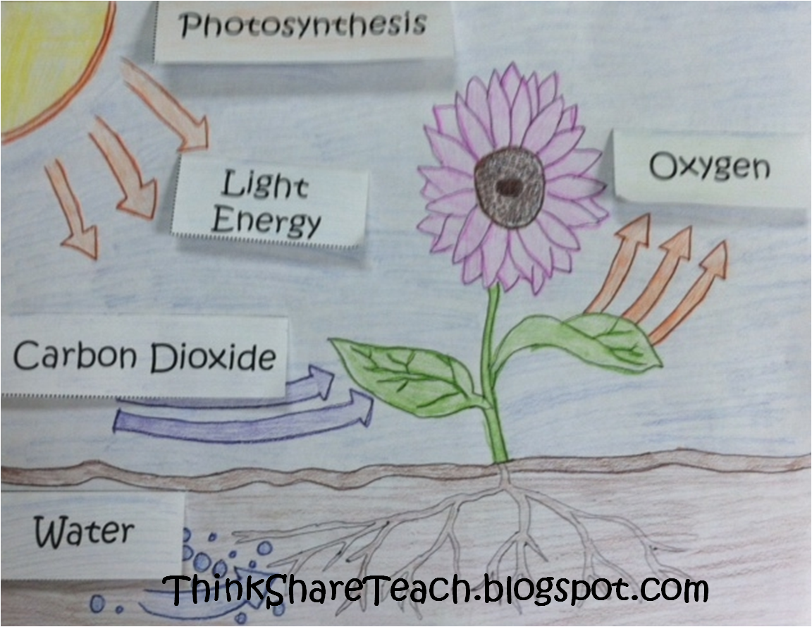 Think Share Teach Photosynthesis Lift The Flap