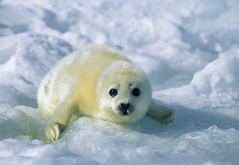 Cute Baby Seals Wallpapers Cute Baby Seals Photos Funny And Cute Animals