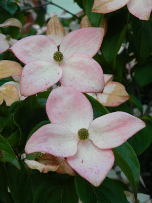 Satomi Chinese Dogwood Cornus kousa blooms by garden muses-not another Toronto gardening blog
