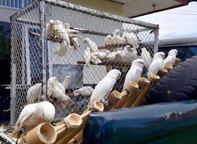 """Ambon, Malukupost.com - Balai Konservasi Sumber Daya Alam (BKSDA) Maluku melepas secara bertahap 61 ekor burung kakatua Tanimbar (cacatua goffiniana) ke habitat.    """"Pelepasan burung endemik Tanimbar dilakukan tim BKSDA Maluku di Saumlaki, setelah sebelumnya burung-burung itu diamankan warga di desa Sangliat Dol sebanyak tujuh ekor, 38 di desa Tumbur dan 16 ekor di desa Olilit,"""" kata Kepala BKSDA Maluku Mukhtar Amin Ahmadi, Sabtu (21/4)."""