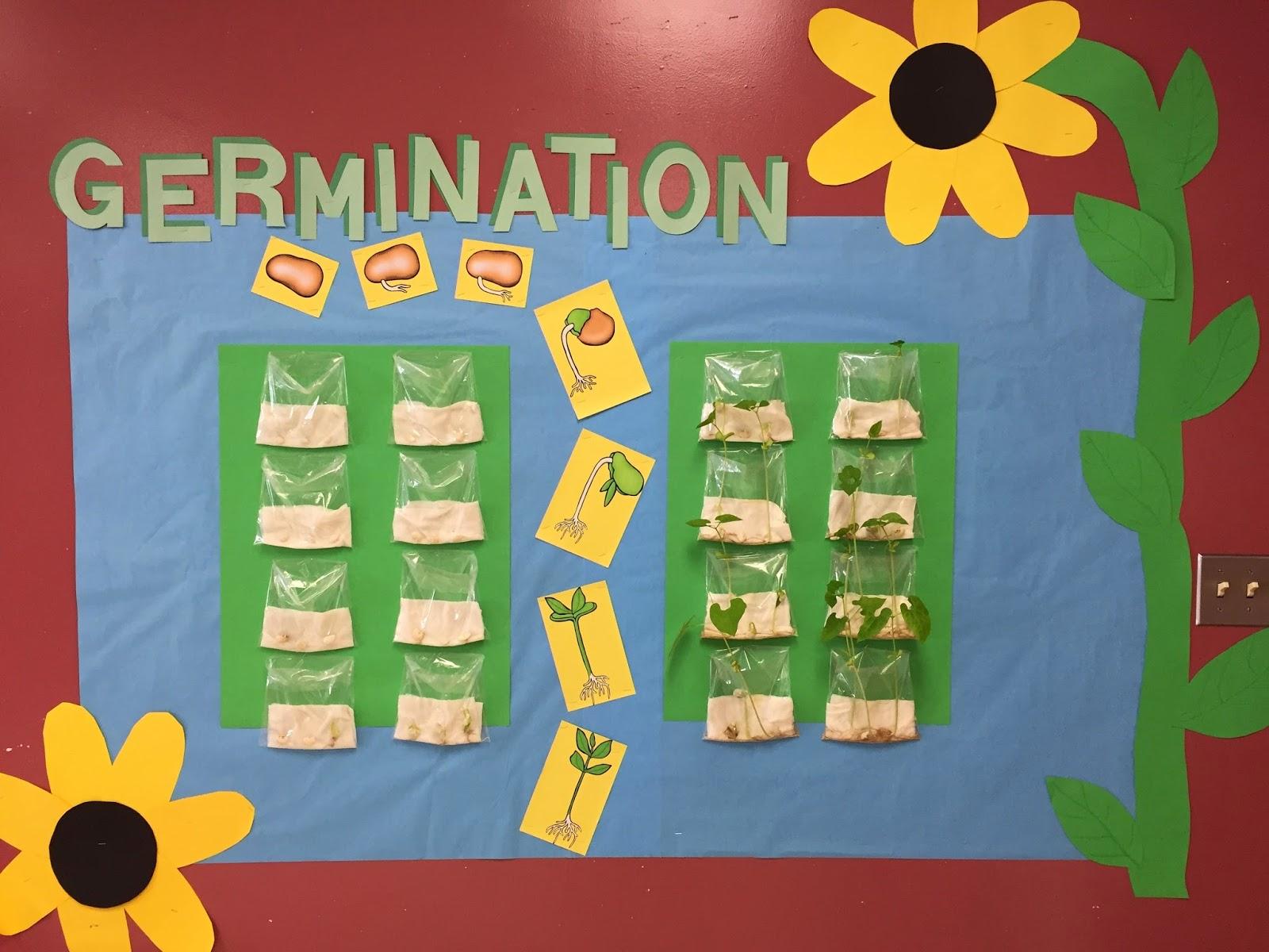 Teaching Seriously Germination A Living Bulletin Board