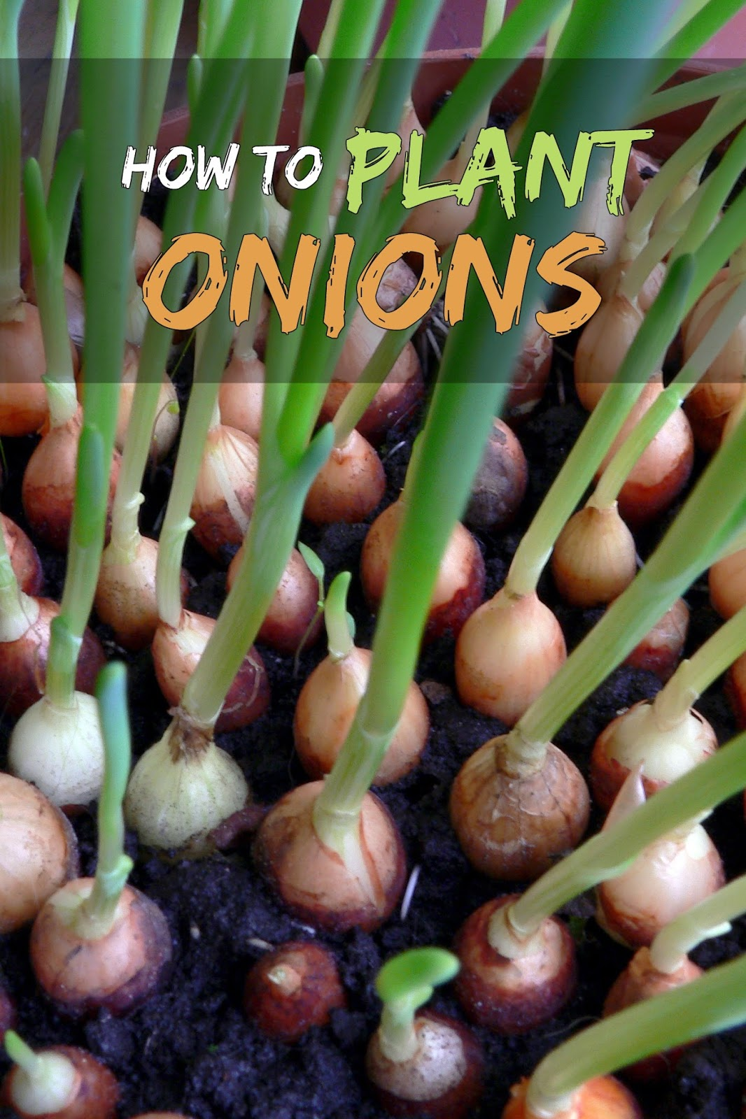Guide To Growing Onions From Seeds  Sets And Transplants