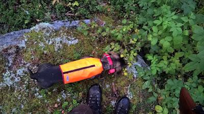 mäyräkoira metsästysliivissä syö vattuja puskasta