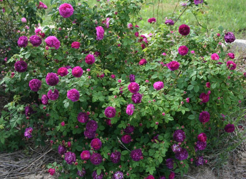 Garden Musings Cardinal De Spread Alot