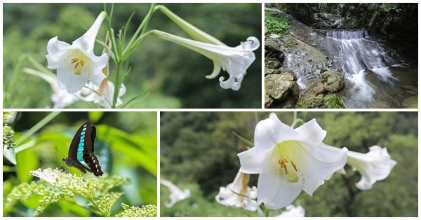 苗栗三義|野百合秘密花園|百合花開了|免費參觀