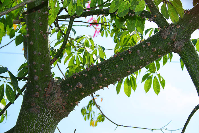 Light Colour Shade: Flowering Trees. The Silk Floss Tree ...