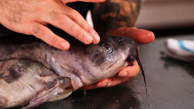 menyimpan ikan lele di kulkas