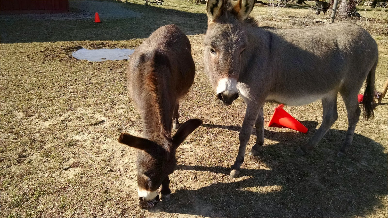 two miniature donkeys and a grooming brush