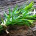 Εστραγκόν: Το βότανο με την ιδιαίτερη γεύση και το ξεχωριστό άρωμα