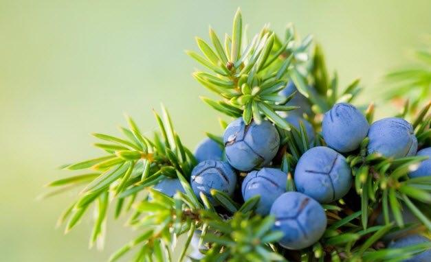 fruti i dëllinjës në pemë