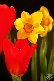 Cramer Imaging's professional quality nature photograph of red tulips and yellow daffodils flowers in Pocatello, Bannock, Idaho