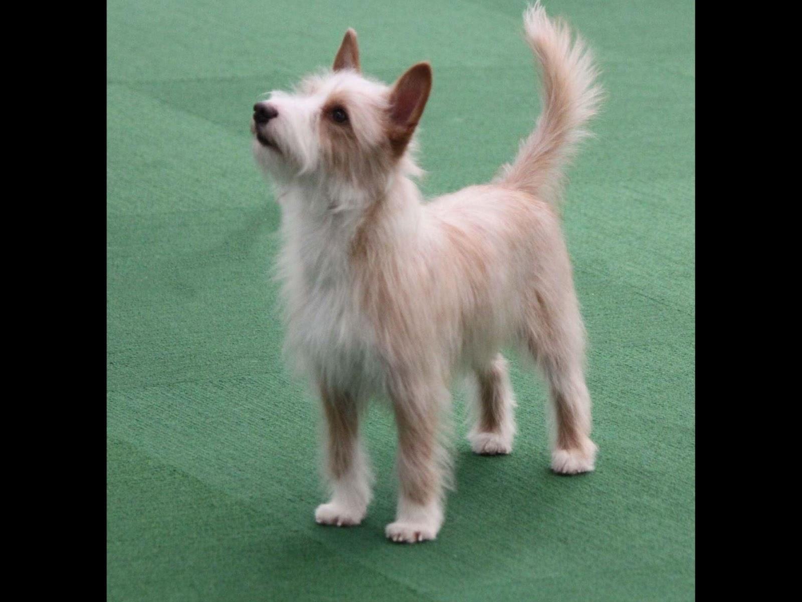 Portuguese Podengo Dog Breed Information Vetstreet - portuguese podengo pequeno